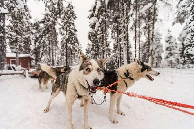 Husky Safari from Rovaniemi Including a Husky Sled Ride photo 2