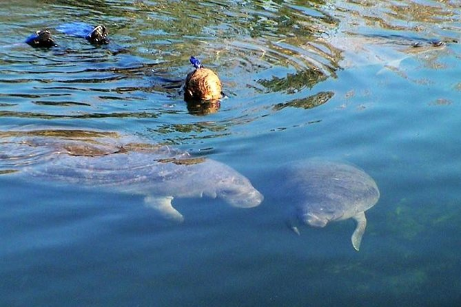 Swim and Snorkel with Manatees in a Guided Crystal River Tour