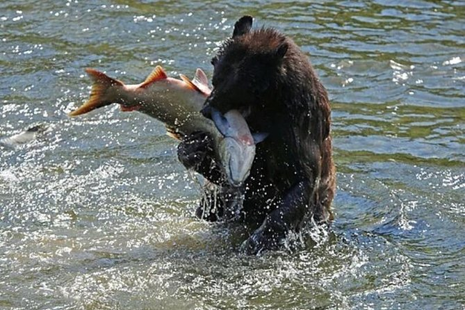 Bear and salmon at Herring Cove