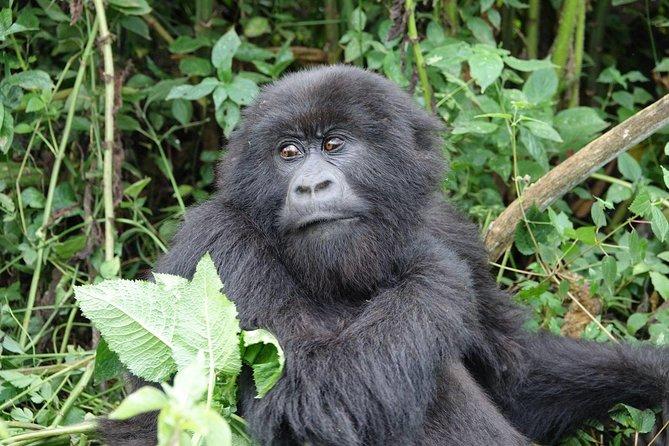 Gorilla trekking Transfer From Kigali