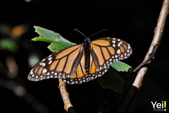 Monarch Butterfly Tour (Departing from Morelia) photo 4