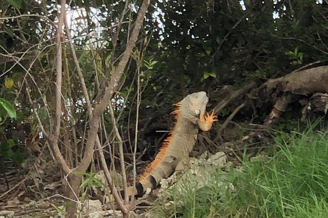 Wild iguana seen soaking up some sun