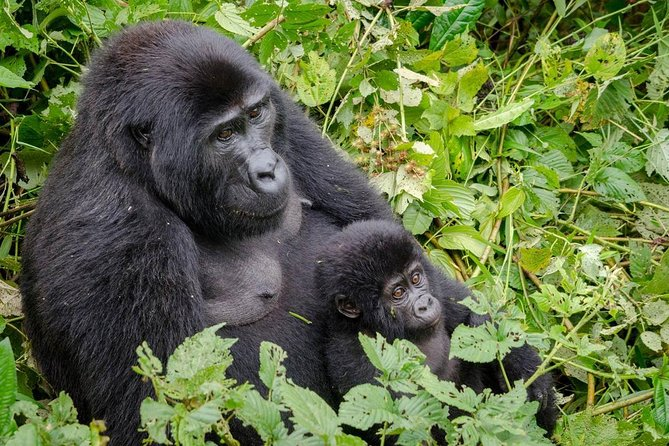 3 Days Gorilla Hiking Safari To Bwindi Impenetrable Forest Park photo 13