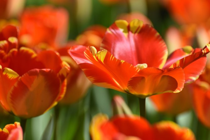 Keukenhof Garden and Flower Fields Day Tour from Rotterdam