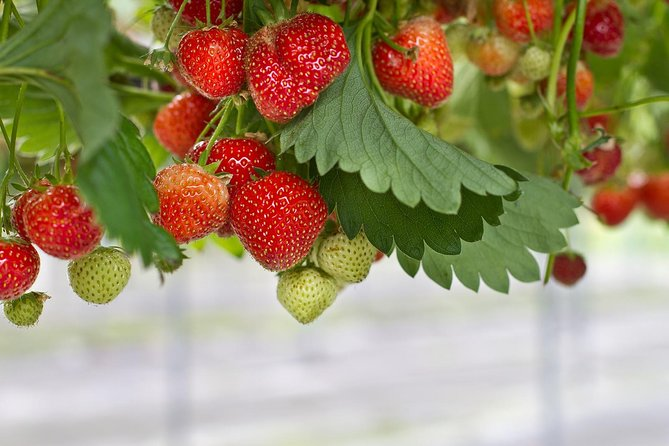 Strawberry Picking ,Nami Island ,Petite France & The Garden of Morning Calm Tour photo 2