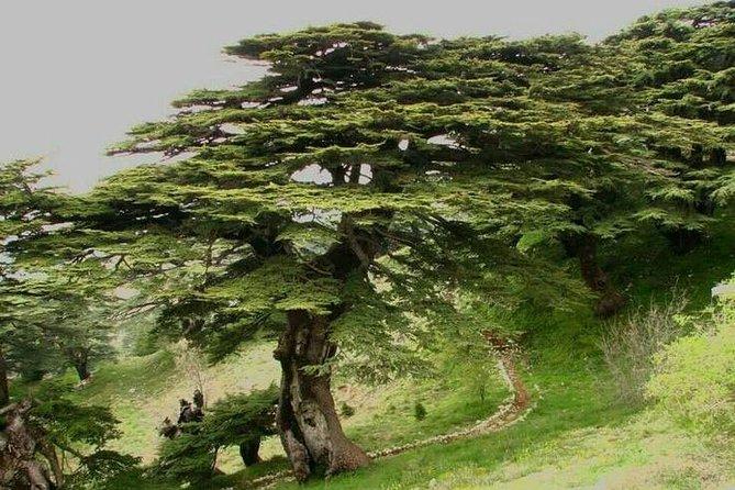 Cedars Of God - Becharre _ Qozhaya