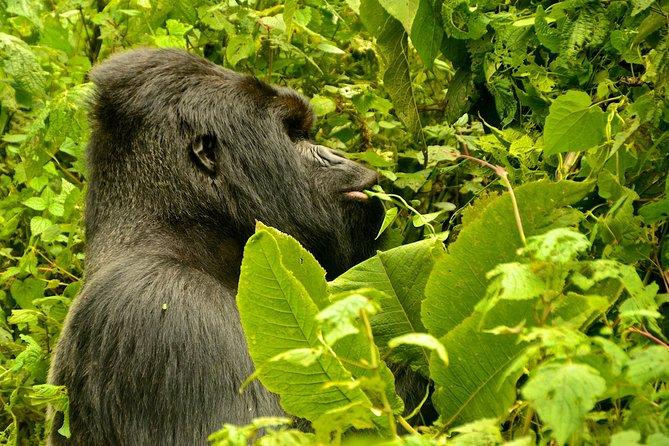Gorillas trekking in Bwindi Impenetrable Forest from Kigali