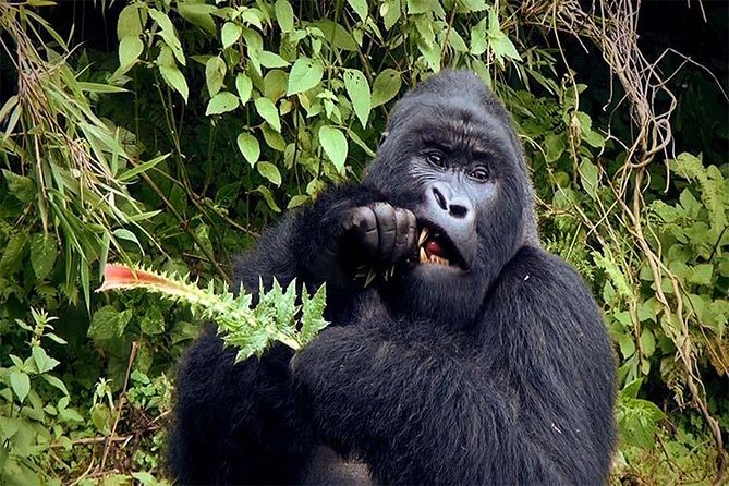 3 Days Gorilla Hiking Safari To Bwindi Impenetrable Forest Park photo 3