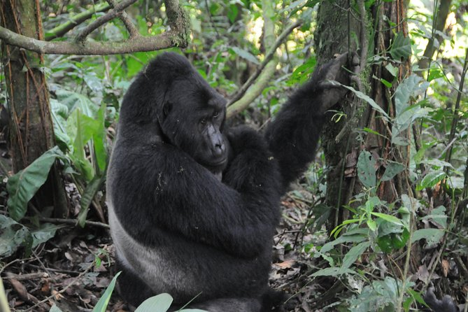3 Days Gorilla Hiking Safari To Bwindi Impenetrable Forest Park photo 16
