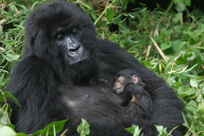 3 Days Gorilla Hiking Safari To Bwindi Impenetrable Forest Park photo 15