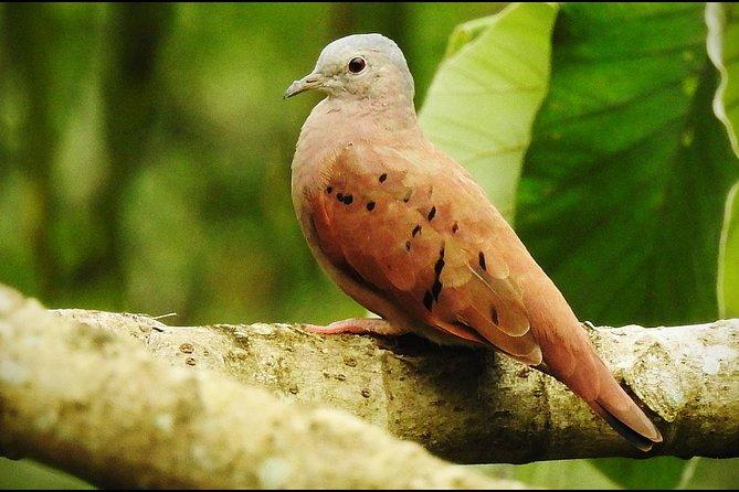 Rainforest Birding at AWARD WINNING Ian Anderson's Caves Branch Jungle Lodge