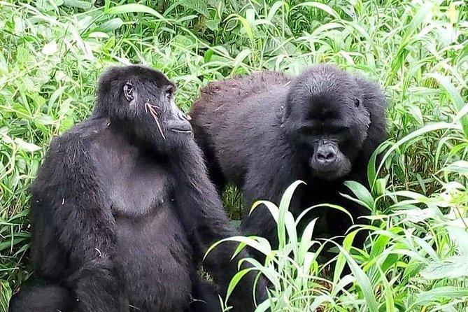 Sliverback Gorilla