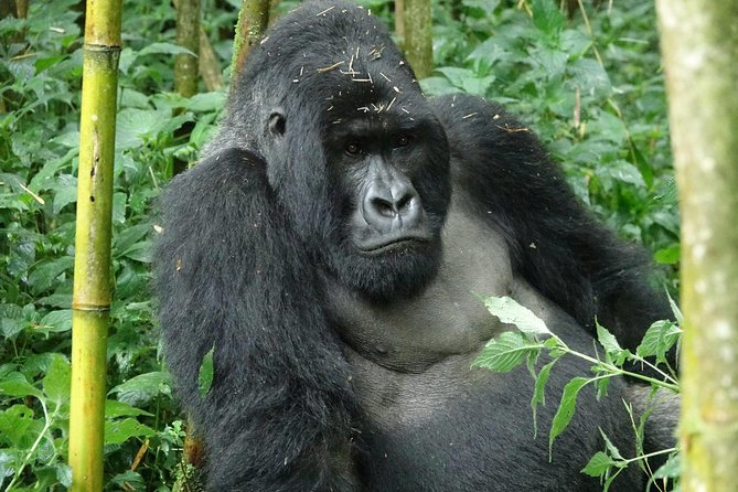 3 Days Gorilla and Golden Monkey Trek