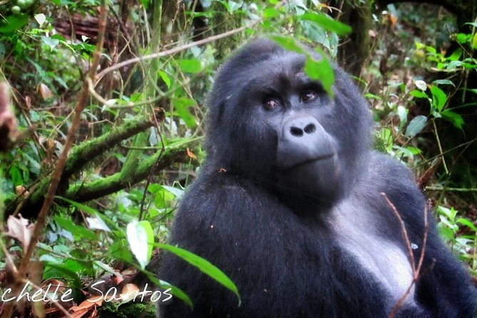 Gorilla in Bwindi Impenetrable Nat