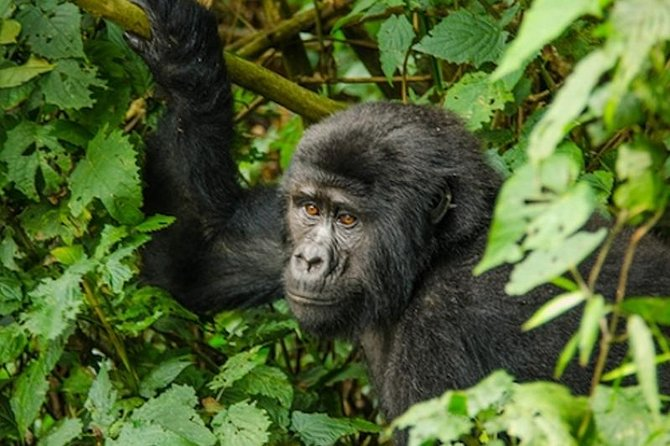 3 Day 2 Night Bwindi Gorillas Trek photo 1