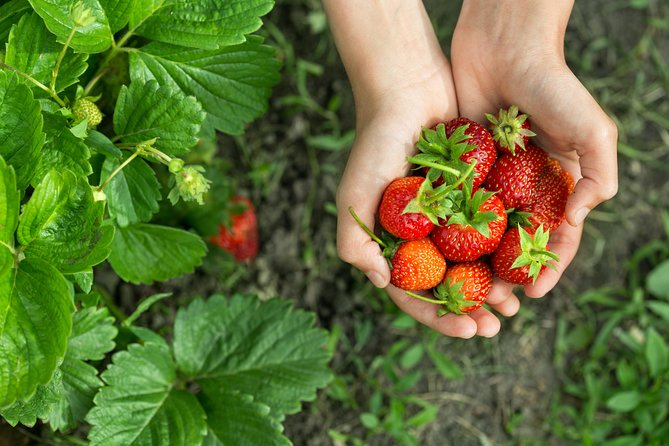 Strawberry Picking ,Nami Island ,Petite France & The Garden of Morning Calm Tour photo 11