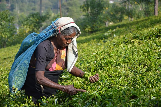 Ingiriya tea plantation