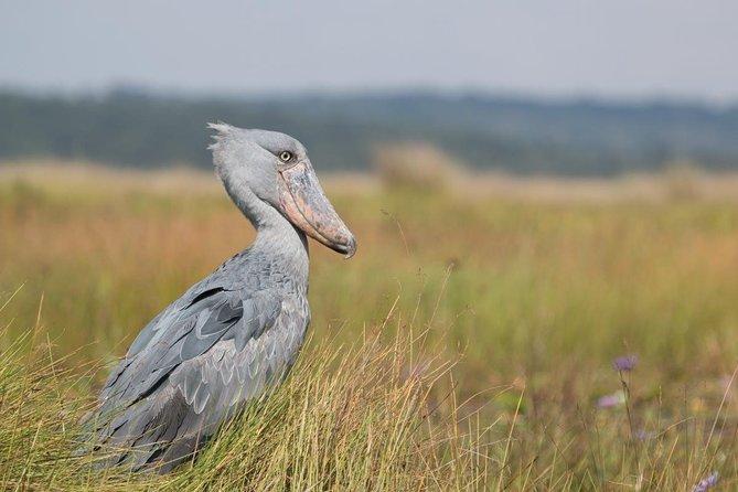 1 day Mabamba (Shoebill) bird watching tour - Shoebill & canoe tour