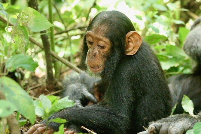 6 Days Uganda gorilla, Chimpanzee and Wildlife safari