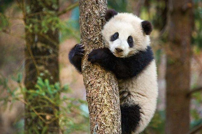 Highlight of Chengdu Private Day Trip: Chengdu Panda Base e Cooking Class nel Sichuan Cuisine Museum