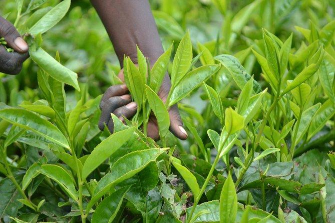 Tea Farm and Factory Tour from Nairobi