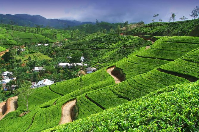 Tea Factory Tour - ASY Tours