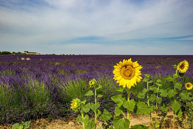 Half-day excursion to the lavender fields from Avignon