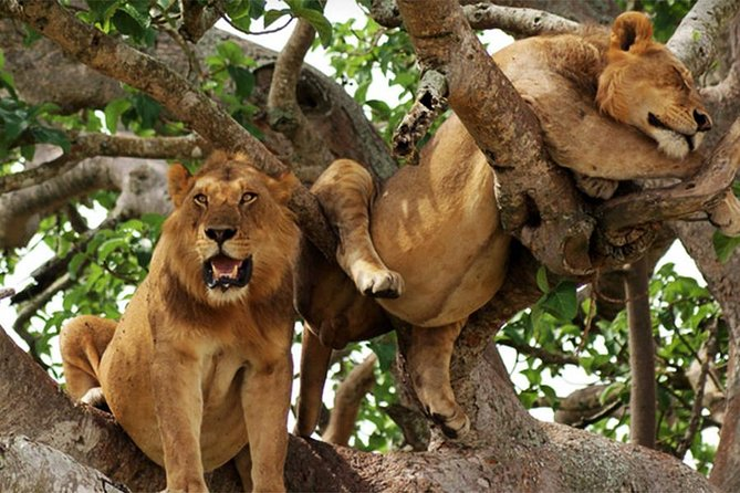 Double Gorrilla Trekking And Tree Climbing Lions