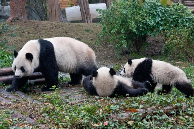 One day amazing tour from Xi'an to see Chengdu Panda by round-trip fast train