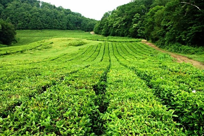 Unique Private Journey to a Tea Plantation from Sochi
