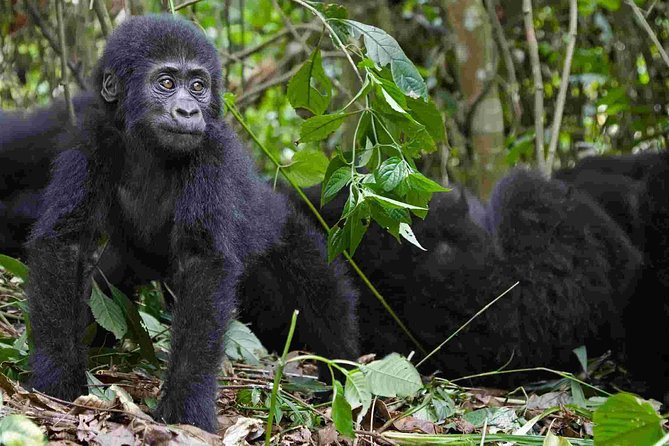 1 Day Rwanda Gorilla Trekking Experience