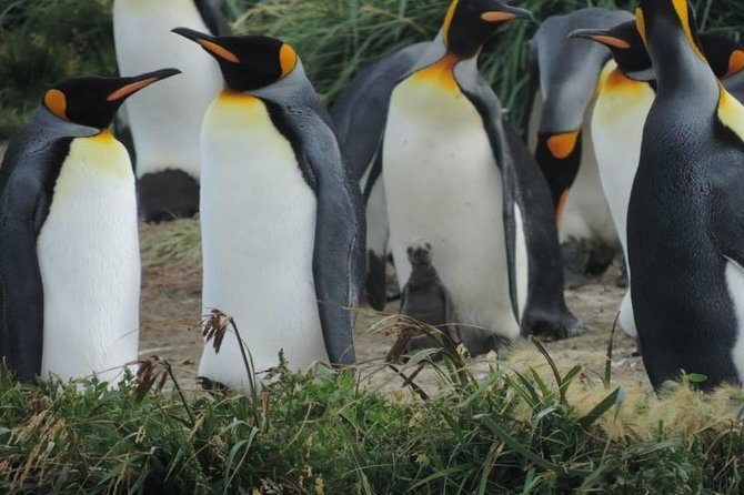 FULL DAY KING PENGUIN COLONY (private tours)