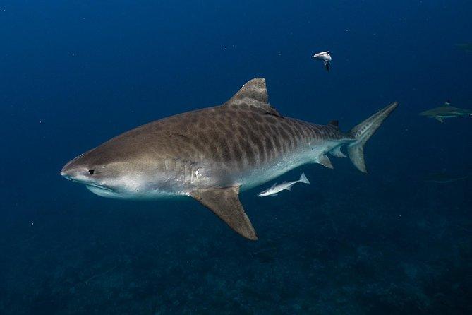 Pelagic Shark Safari