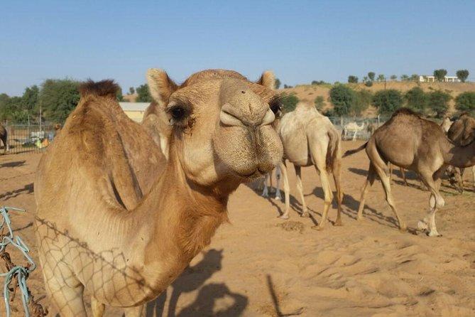 Morning Desert Safari with Camel Rides, Sand Boards and Dune Bashing
