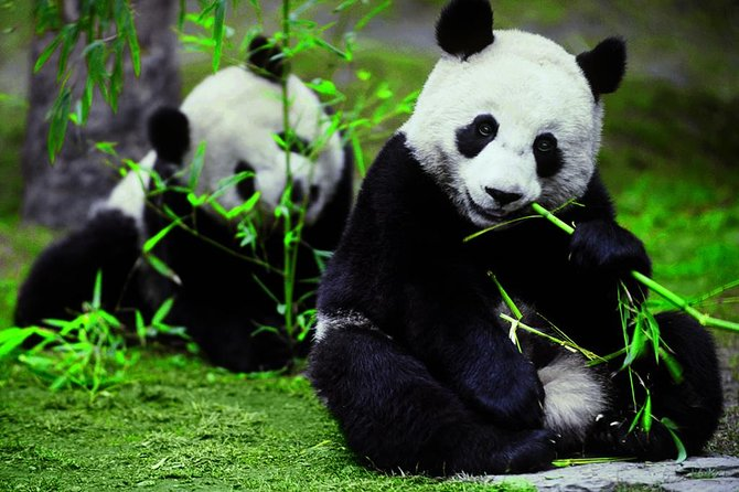 Private Chengdu Day Tour To The Giant Panda Base