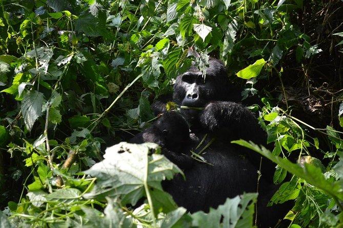 2 Days Uganda Gorilla Trekking Tour From Kigali Rwanda