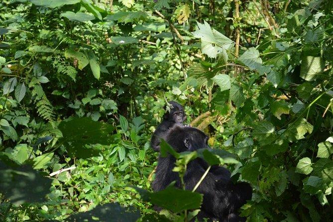 3 Day Fly in Rwanda Tracking Gorillas in Uganda