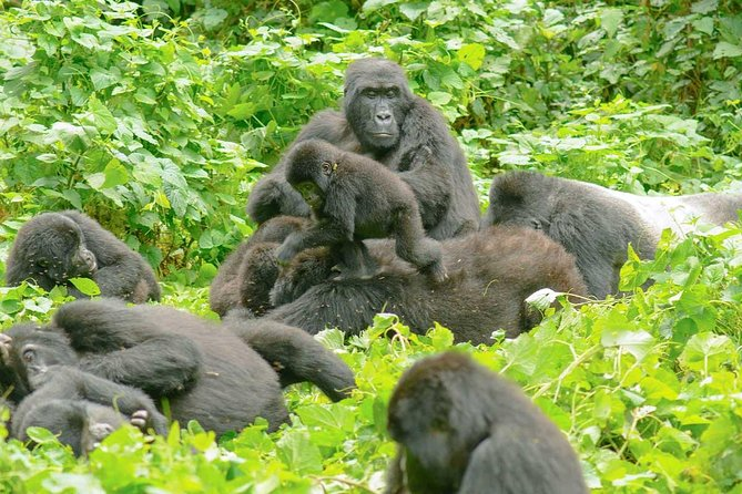 Gorilla Trekking Experience in Bwindi Impenetrable National Park photo 2