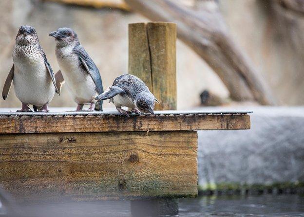 Skip the Line: Little Penguin Encounter Ticket
