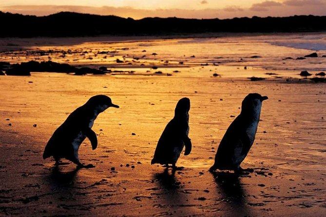 Phillip Island Penguin Parade, Brighton Bathing Boxes and Wildlife Park Tour