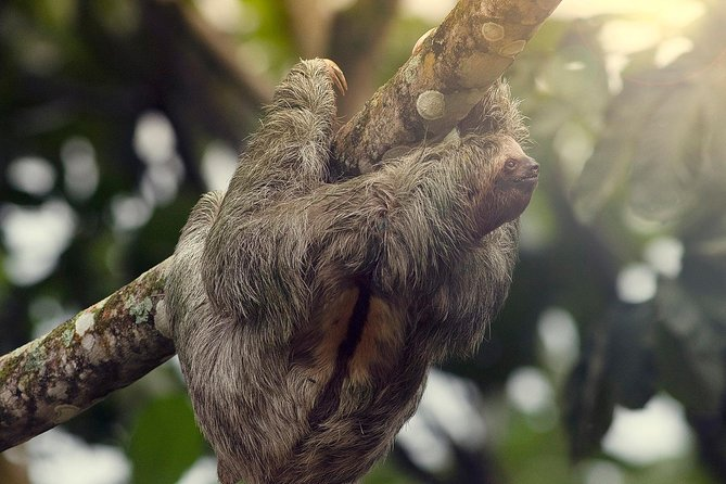 Sloth Watching Tour Experience Costa Rica