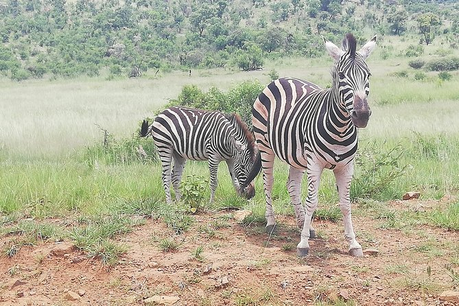 Tented Pilanesberg safari 2-Day from Johannesburg R3990