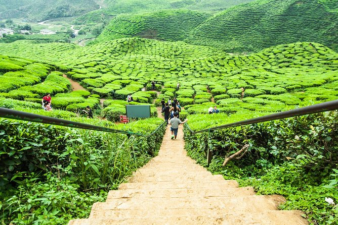 Private Tour : Full-Day Cameron Highlands Nature Exploration from Kuala Lumpur