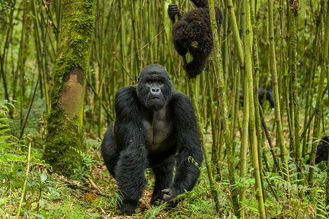 1 Day Rwanda Gorilla Trekking Tour