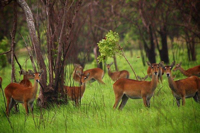 Shai Antelopes