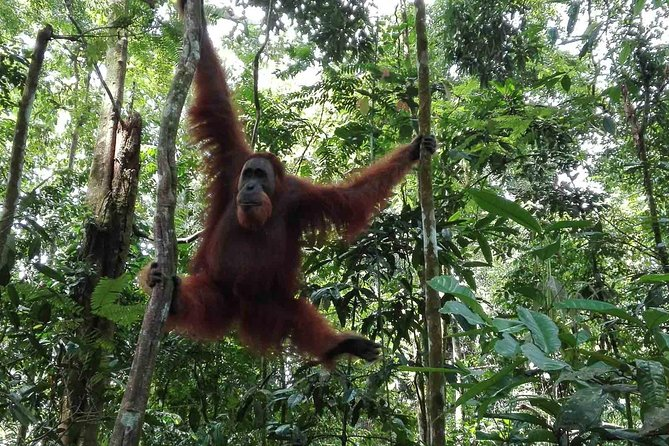 Medan Tour Encounter of Orangutan with Jungle Trekking