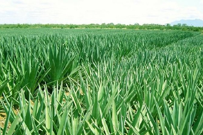 Visit Sisal Plantations & Processing Factory - Full Day Tour