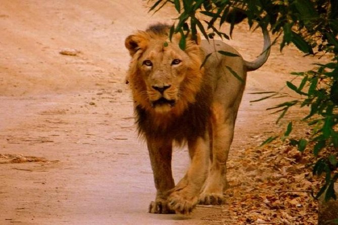 02 Nights & 03 Days Asiatic Lion Tour from Rajkot