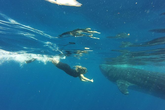 Half Day Whale Shark Tour From Tulum