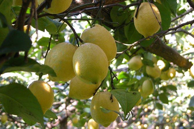 Sorrento Farm und Food Experience einschließlich Olivenöl, Limoncello, Weinprobe